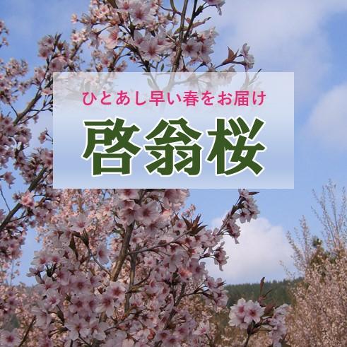 今年も啓翁桜の受注が始まりました