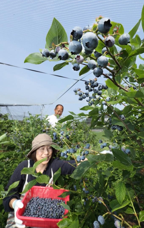 青紫色に輝くブルーベリーを収穫する山村代表ご夫婦(平成29年6月24日付北日本新聞)